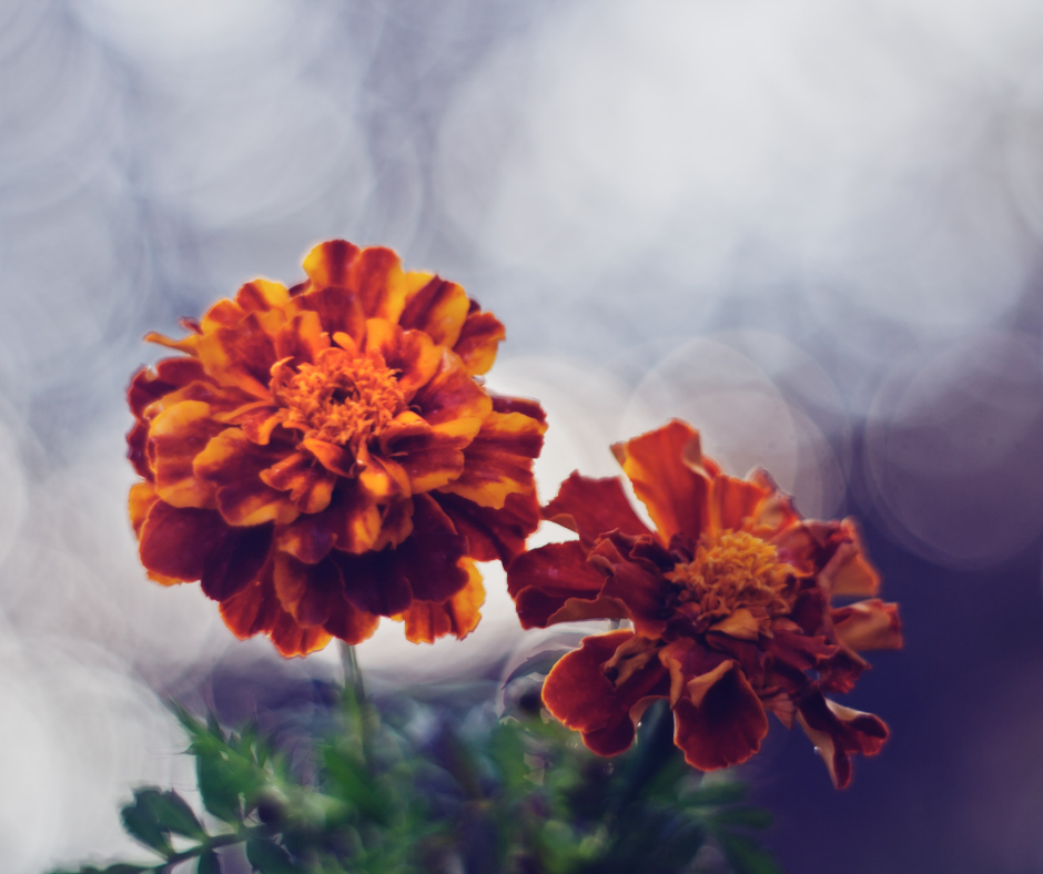 two orange flowers