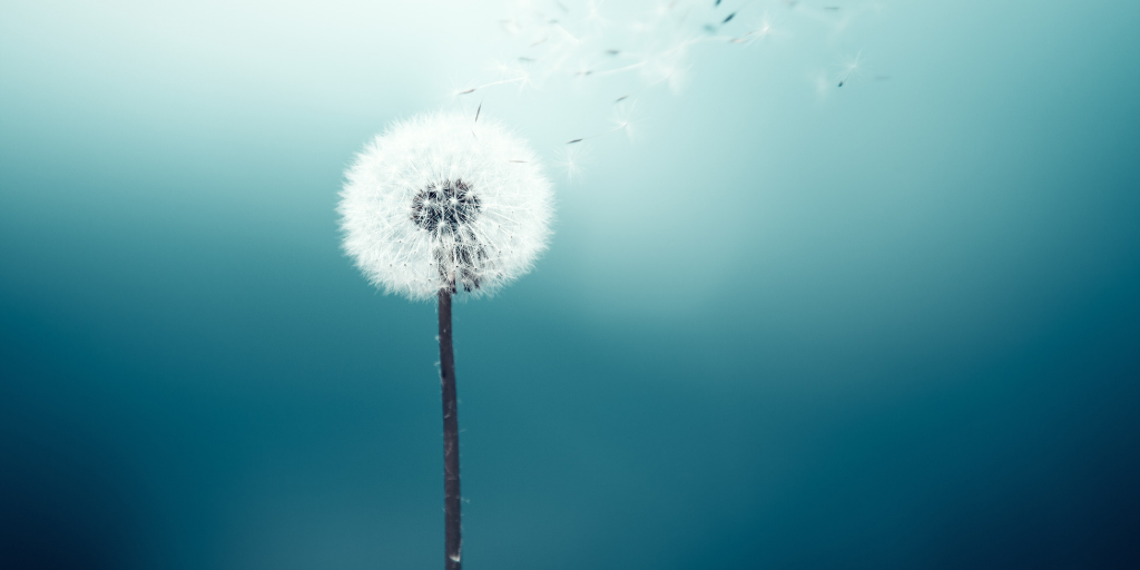 Dandelion with seeds floating away