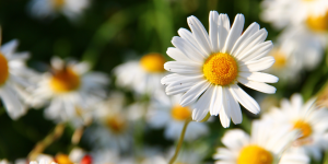 Close up of daisy in field of daisies